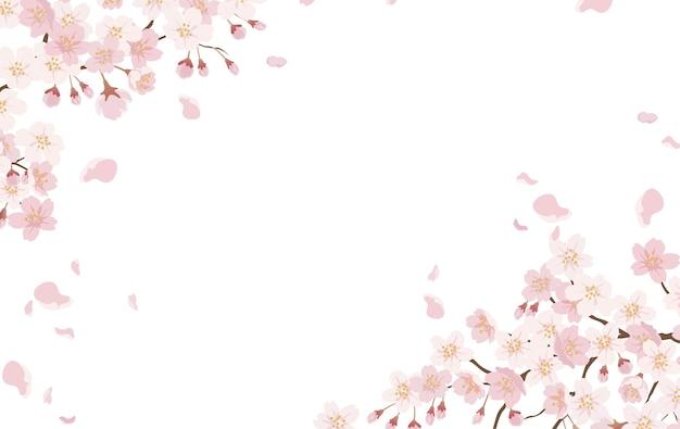 흰색에 고립 된 만개에서 벚꽃 꽃.