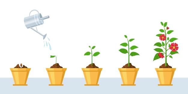 꽃 성장 과정. 묘목, 물주기 및 원예 꽃 단계. 냄비 벡터 인포그래픽에서 꽃 식물로 자라는 새싹의 단계. 꽃주기, 식물 성장 및 발달