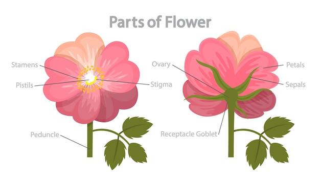 Инфографика части цветка. концепция биологии и образования. анатомия флоры. тычинка, лепесток и рыльце. иллюстрация