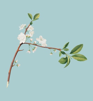 Flower of plum from pomona italiana illustration