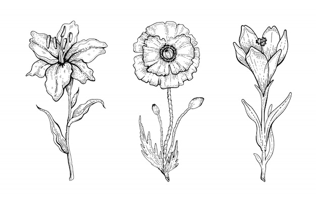 Flower set. lily, poppy, crocus.  floral graphic, sketch plant illustration. black and white vintage line art. spring or summer hand drawn flowers.