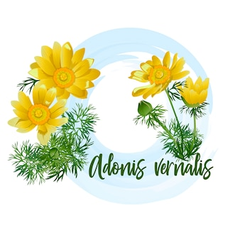 Flowers of adonis, lat. adonis vernalis, isolated on white background