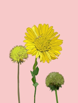 Flowers calendula clover