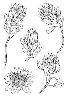 クイーンプロテアとキングプロテアの花のセット。熱帯植物のコレクション。手描きのベクトル図です。白で隔離のヴィンテージ植物スケッチ。デザインのための黒い要素。