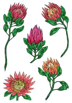 クイーンプロテアとキングプロテアの花のセット。熱帯植物のコレクション。手描きのベクトル図です。白で隔離のヴィンテージ植物スケッチ。デザインのための色付きの要素。