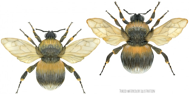 Fluffy bumblebees