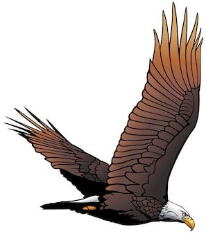 Flying bald eagle illustration