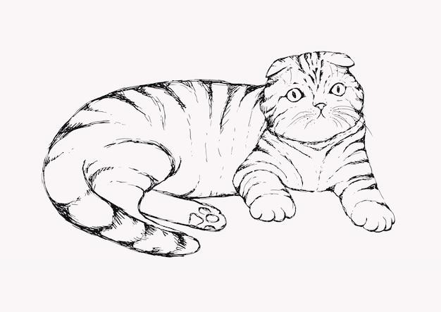 Fold cat - hand drawn illustration. flap-eared tabby kitten is lying. realistic portrait housecat.
