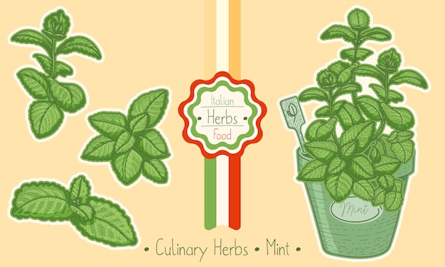 Food and culinary herb mint