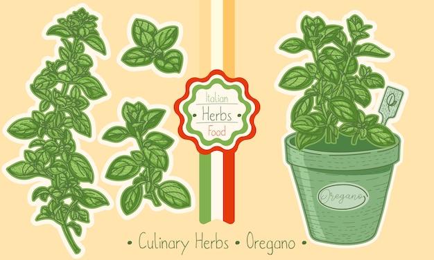 Food and culinary herb oregano