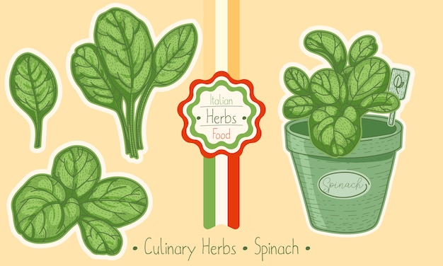 Food and culinary herb spinach