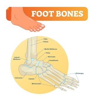 Foot bones  illustration with icons. medical diagram with tibia, fibula, malleous, talus and navicular.