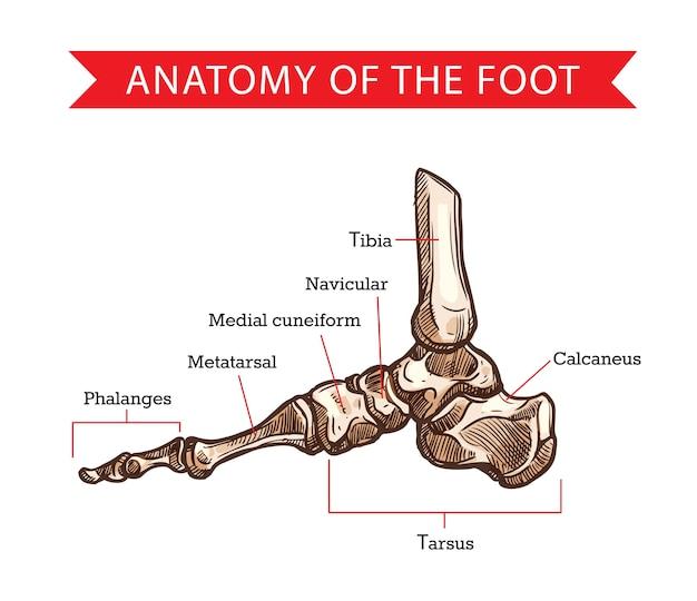 인체 해부학, 정형 외과 의학의 발 뼈 스케치. 지골, 중족골, 족골 및 종골, 설형 문자, 해골 및 경골 뼈 다이어그램이있는 골격 다리의 측면보기