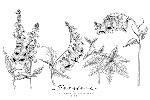 Foxglove flower drawings.