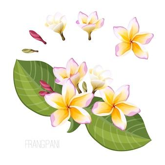 Frangipani exotic flowers