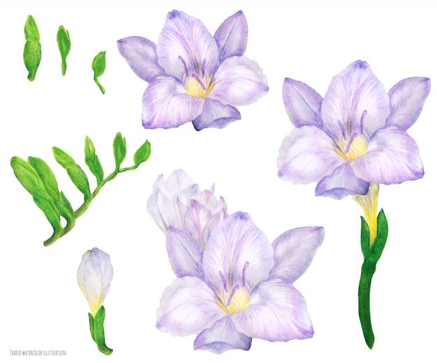 Фрезия сиреневые цветы и бутоны, акварель