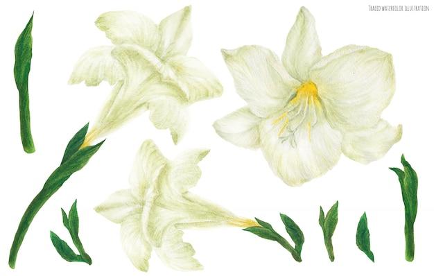 フリージアの白い花とつぼみ、水彩