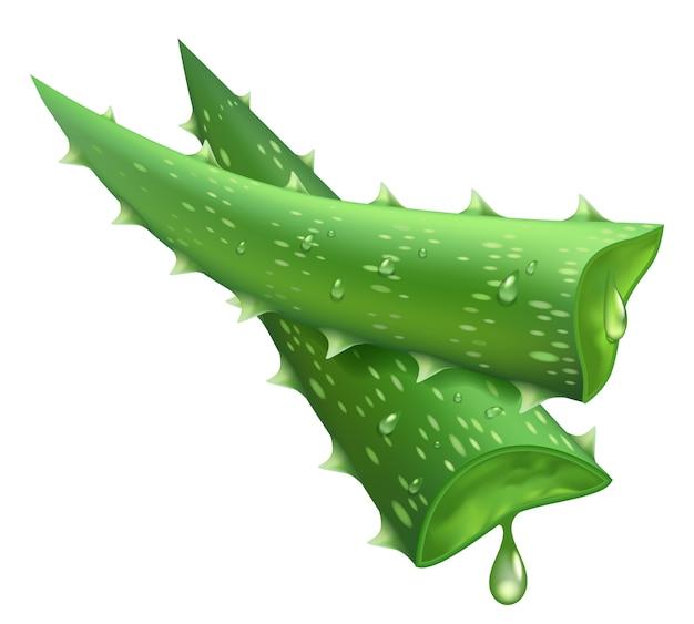 신선한 알로에 베라. 현실적인 녹색 잎 조각, 알로에 베라 육즙 방울, 약 공장 및 천연 성분 그림. 즙이 많은 알로에, 자연 건강 식물을 잘라