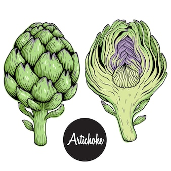 Fresh artichoke colored hand draw or sketchy style