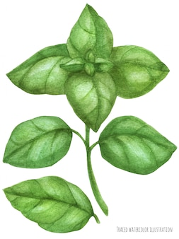 Fresh basil green branch. botanical watercolor traced illustration