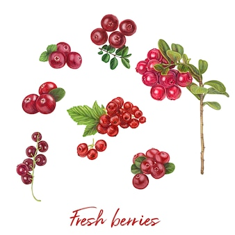 Fresh berries hand drawn