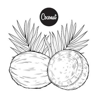 신선한 코코넛 과일 스케치 또는 손으로 그리기 벡터