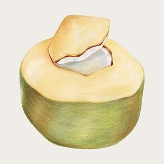 Fresh coconut hand-drawn vector in color-pencil