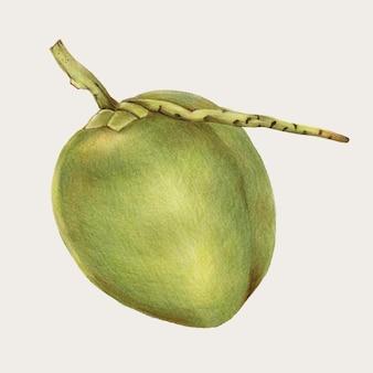 Свежий кокосовый рисованный вектор цветным карандашом
