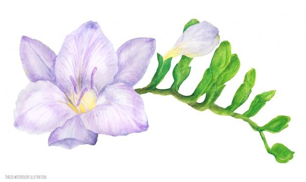 꽃 봉 오리와 신선한 섬세 한 보라색 프리 지아 지점