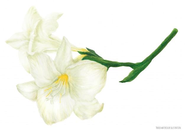 Fresh delicate white freesia branch