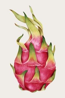 Свежий драконий фрукт вектор рисованной