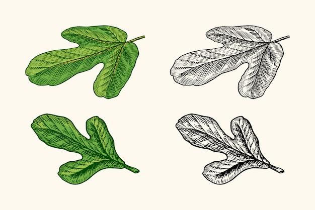 Свежий инжир. фруктовая листва.