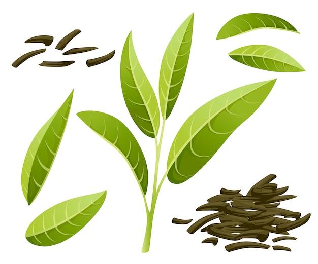 신선한 녹차 잎과 더미 건조 차. , 광고 및 포장을위한 녹차. 흰색 배경에 그림 프리미엄 벡터