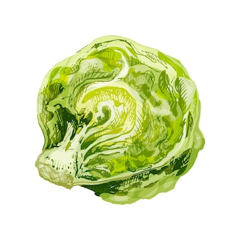 Fresh half head iceberg lettuce. vector vintage hatching color illustration. isolated on white background. hand drawn design for label