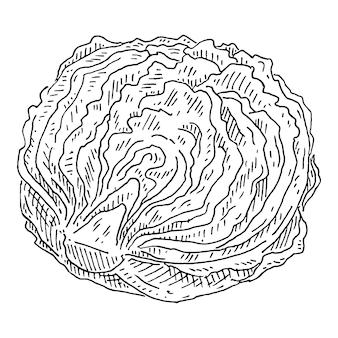 Свежий салат айсберг на половину головки. старинные штриховки цветные иллюстрации.