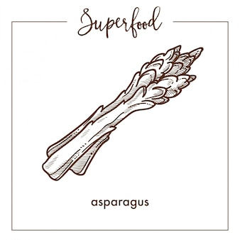 Fresh healthy asparagus branches monochrome superfood sepia sketch