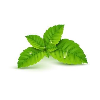 신선한 민트 잎. 멘톨 건강한 향기. 초본 자연 식물. 스피어민트 그린 leafs.