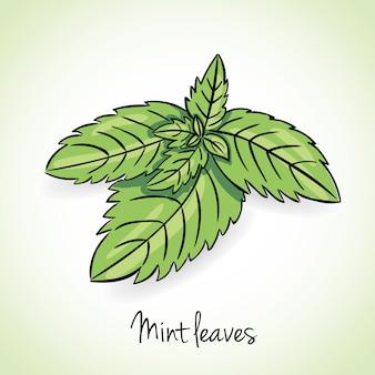Fresh mint leaves, vector