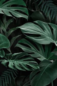 Fresh natural green monstera deliciosa leaves