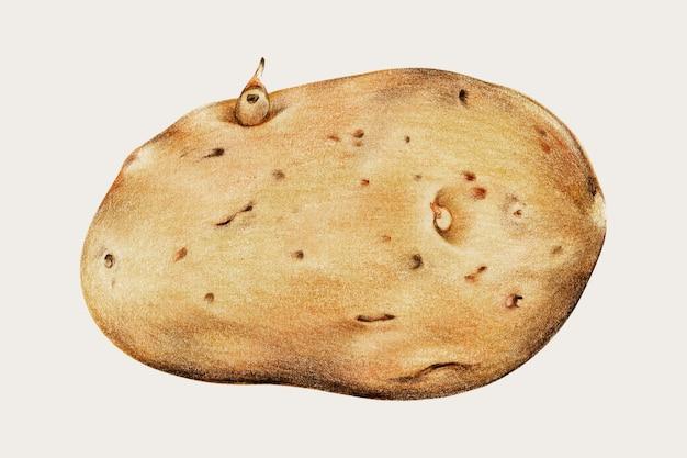 신선한 감자 빈티지 벡터 손으로 그린