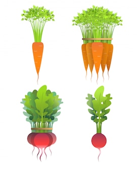 Fresh radishes and carrots set on isolated background. one and bunch.