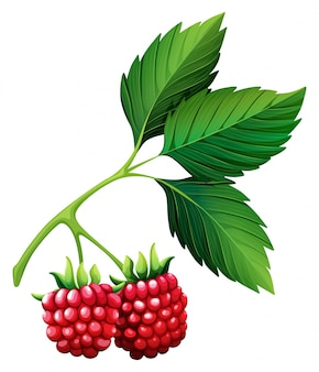 Fresh raspberries with stem
