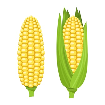 Fresh ripe corn cob. colorful illustration