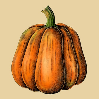 Fresh ripe pumpkin drawing vector