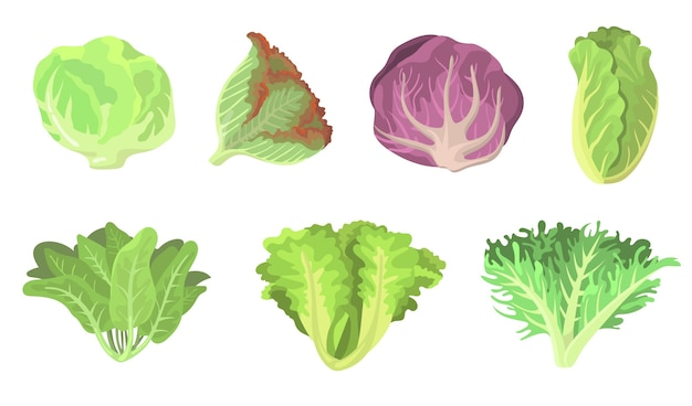 Fresh salad leaves flat illustration set. cartoon radicchio, lettuce, romaine, kale, collard, sorrel, spinach, red cabbage isolated vector illustration collection. vegetarian food and plants concept