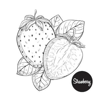 신선한 딸기 스케치 또는 손으로 그리기 벡터