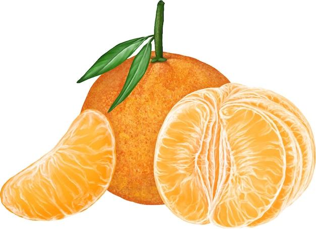 Fresh tangerines clementines mandarin citrus fruit illustration