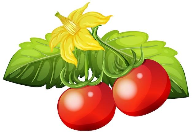 흰색 바탕에 신선한 토마토
