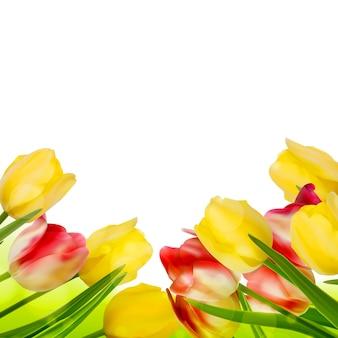Свежие тюльпаны на белом.