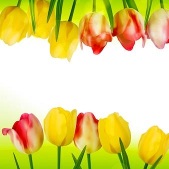Fresh tulips  on white.